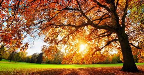 Schöne Eiche auf Wiese bei untergehender Sonne im Herbst