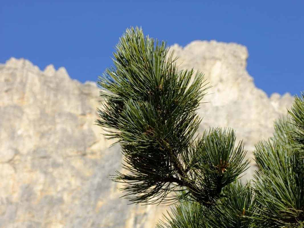 Zirbe Alpen swiss stone pine 1877921 1920 Karin Greiner Pixabay